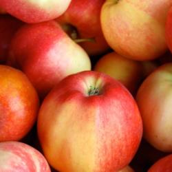 Macintosh Apple ingredient